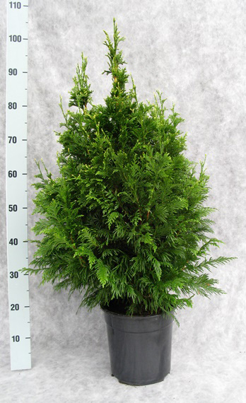 067-thuja-pl-can-can-90