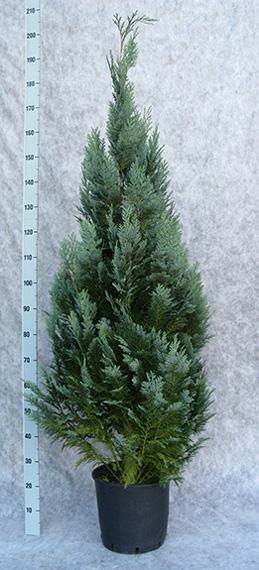 cham-law-columnaris-170