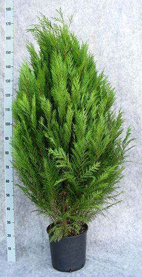 cham-law-erecta-viridis-150